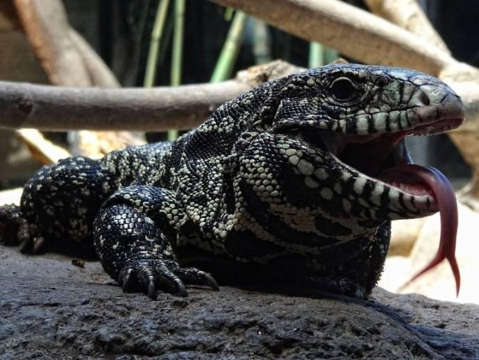 Аргентинская ящерица поставила рекорд по регенерации
