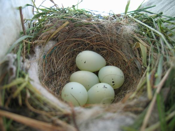 Для чего птице гнездо?