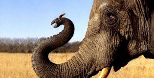 Слоны боятся мышей — правда ли это?